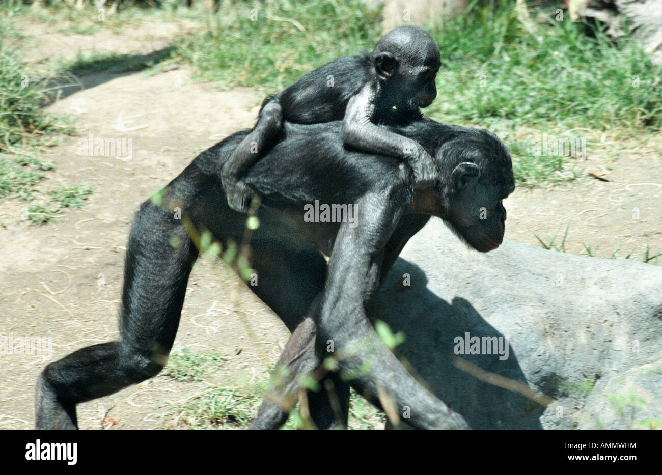 PAN PANISCUS ENDANGERED TROPICAL RF ZAIRE CONGO Pygmy Chimpanzee Zaire animal animals bonobo bonobos chimp chimpanzees - Stock Image