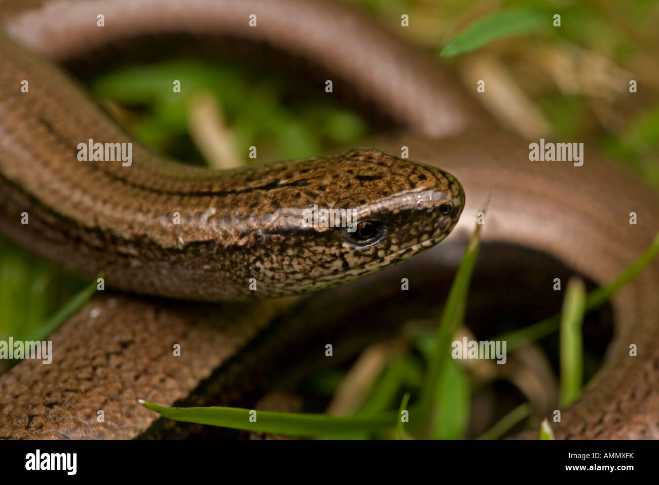 Slow Worm in grass Anguis fragilis England UK Legless lizard Stock Photo