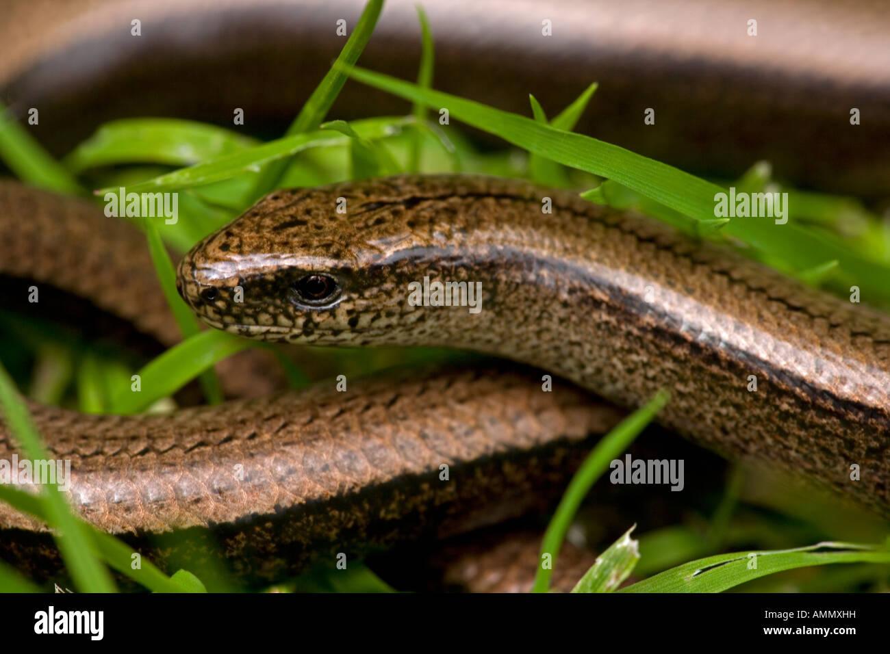 Slow Worm Anguis fragilis England UK Legless lizard Stock Photo