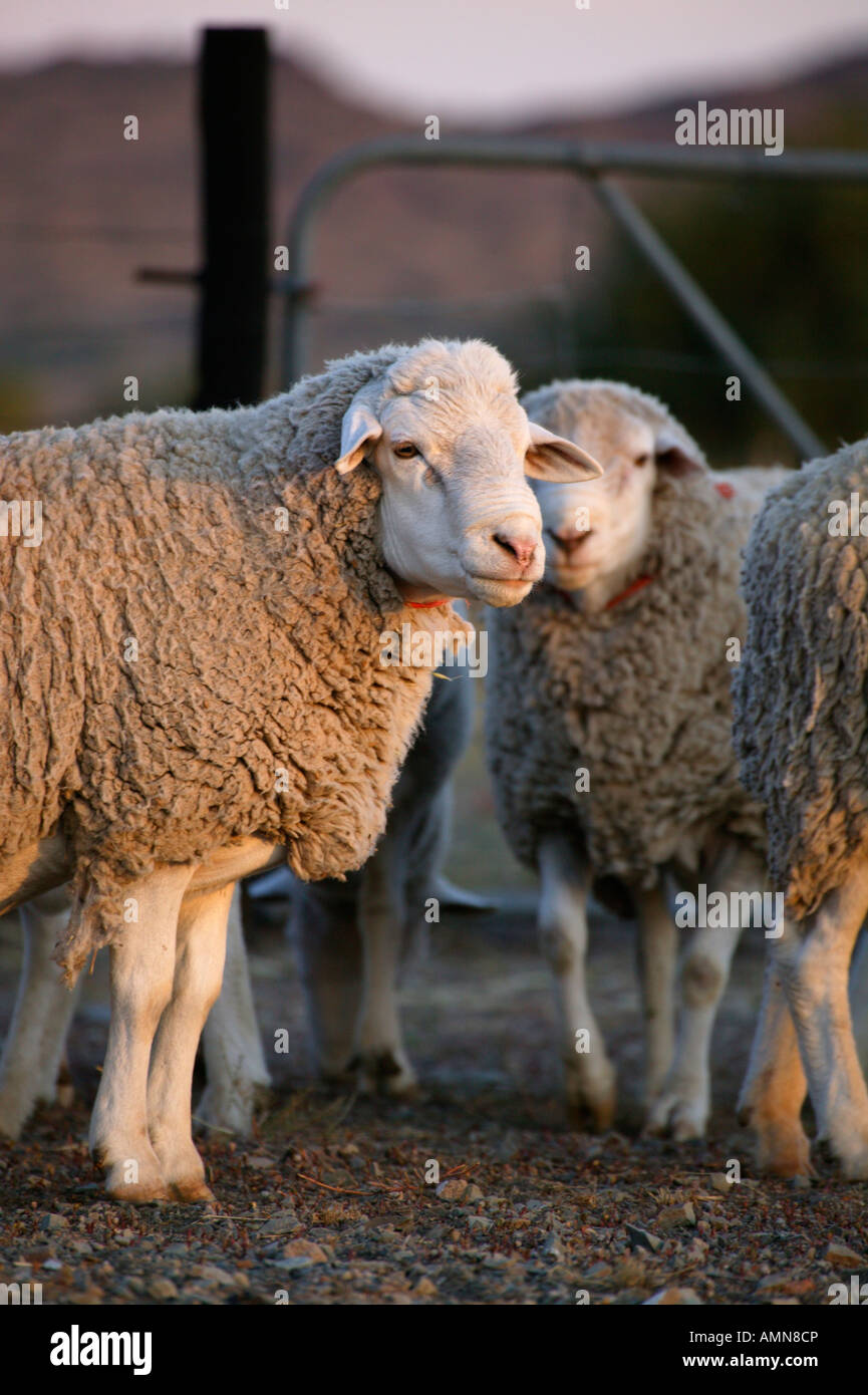 Portrait of a Merino sheep in a pen on a Sheep farm in the Karoo - Stock Image