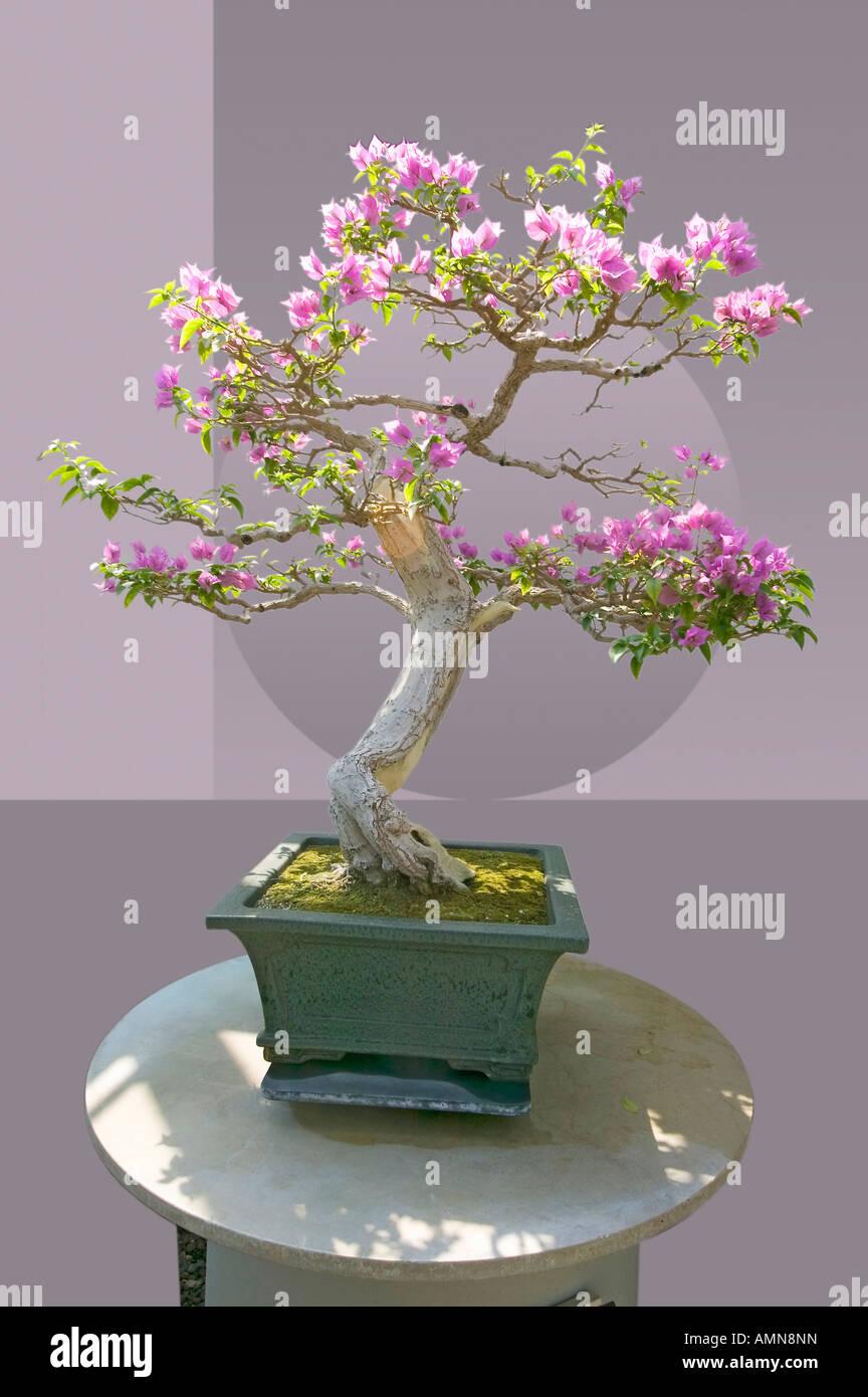 Pink Flowering Bonsai Tree Stock Photos Pink Flowering Bonsai Tree