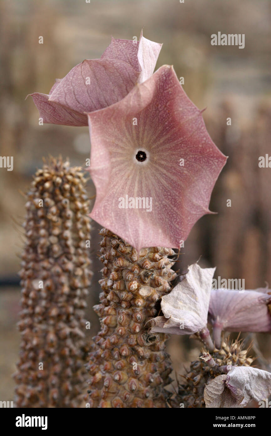 Hoodia gordonii succulent used by San Bushmen to suppress hunger Stock Photo