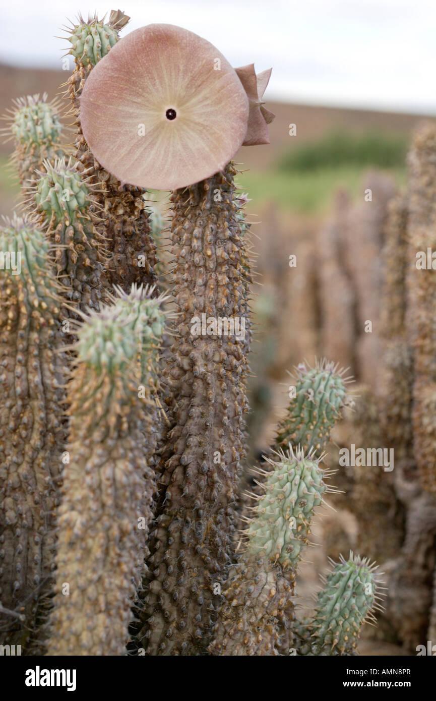 Hoodia Gordonii Succulent Used By San Bushmen To Suppress Hunger
