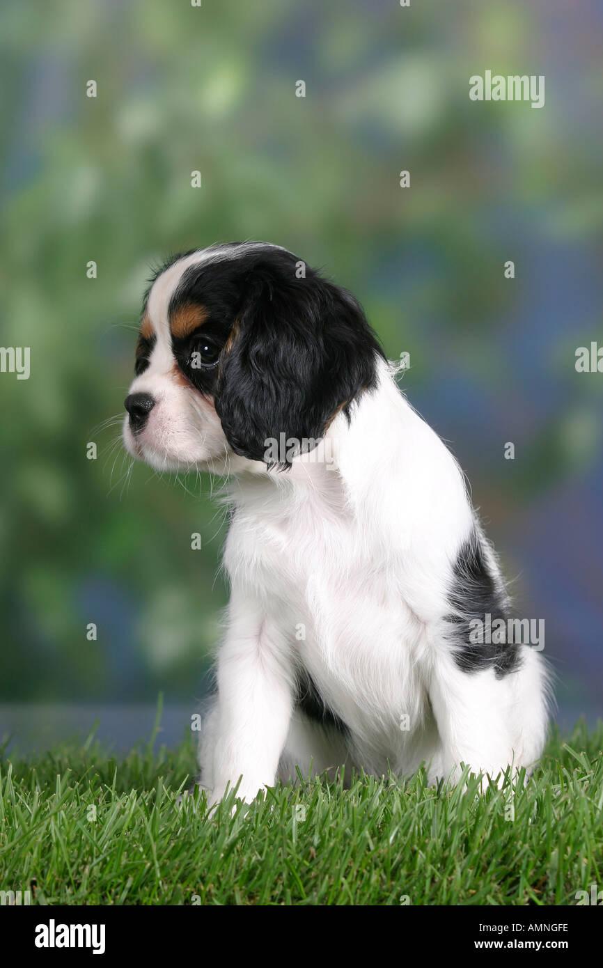 Cavalier King Charles Spaniel Puppy 8 Weeks Tricolour Cavalier King Stock Photo Alamy