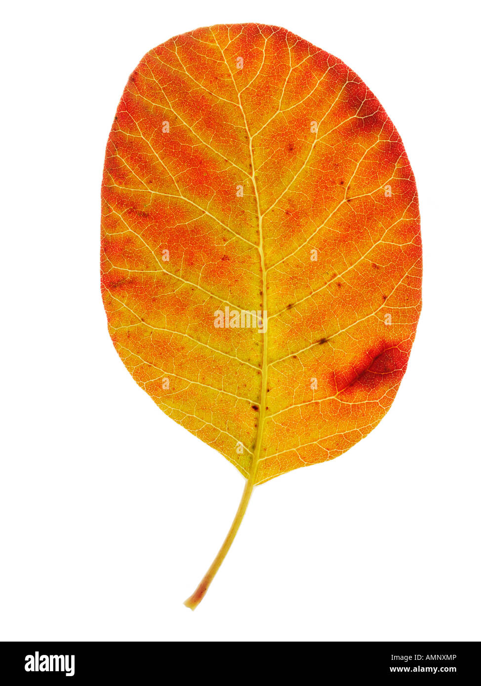 Individual single autumn Fall Leaf against white background. graphic image against white background for cutting - Stock Image