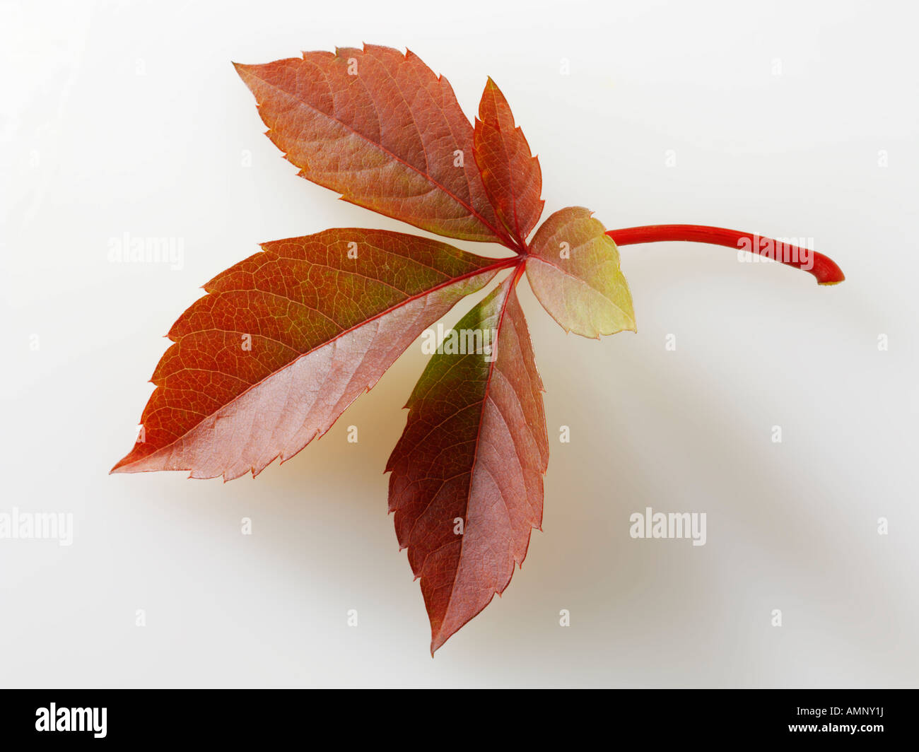 Autumn leaf. Single fall leaf against white. Natural colors and textures. - Stock Image