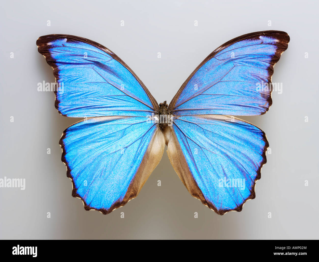 top shot plan extreme close up view of a Menelaus blue morpho (Morpho menelaus)  butterfly, opened winged, against Stock Photo