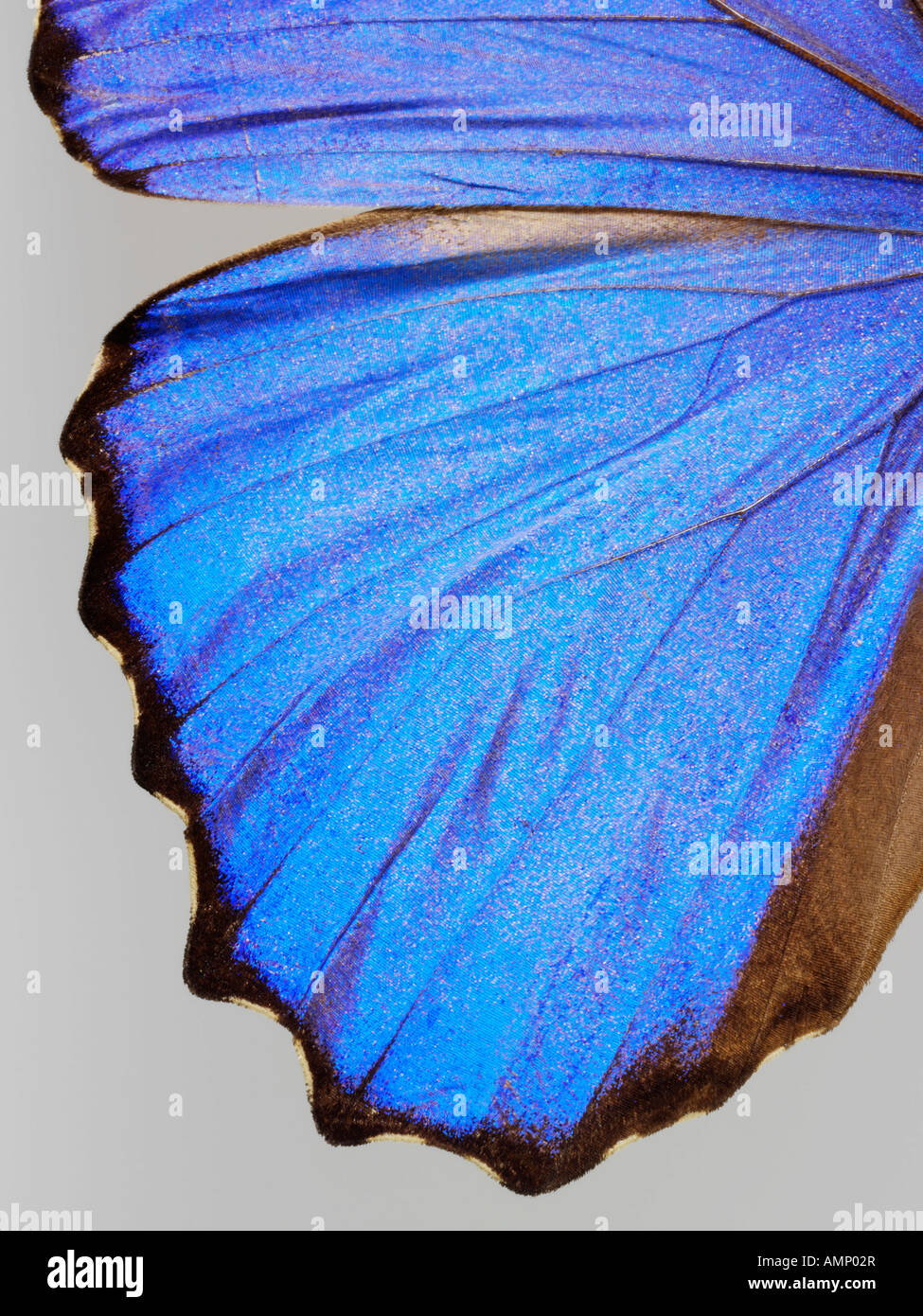 top shot plan extreme close up view of a Menelaus blue morpho (Morpho menelaus)  butterfly, opened winged, against - Stock Image