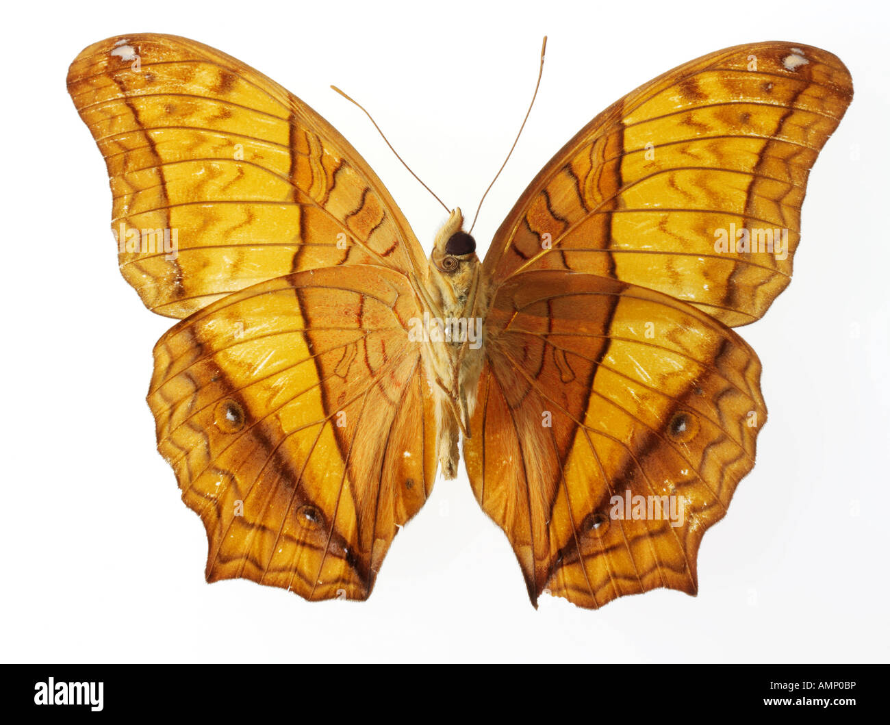 top shot plan view of a Nymphalidae butterfly, opened winged, against a white background in a studio Stock Photo