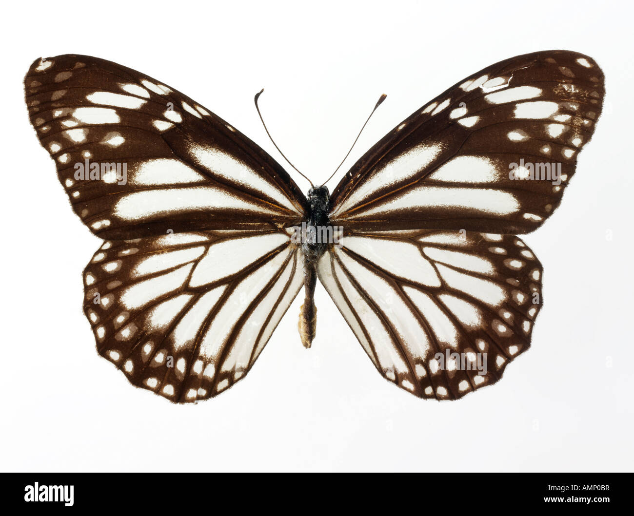 top shot plan view of a Nymphalidae butterfly, opened winged, against a white background in a studio - Stock Image