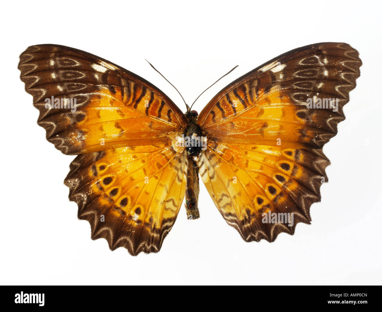 top shot plan view of a Halliconiini fritillary butterfly, opened winged, against a white background in a studio - Stock Image