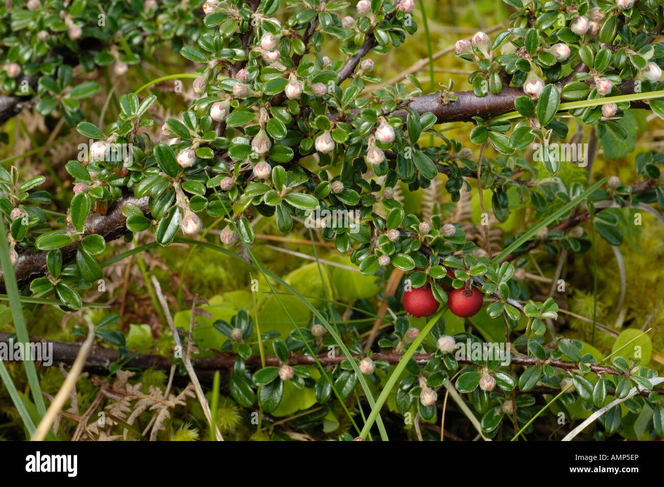 Entire leaved Cotoneaster, Cotoneaster integrifolius - Stock Image