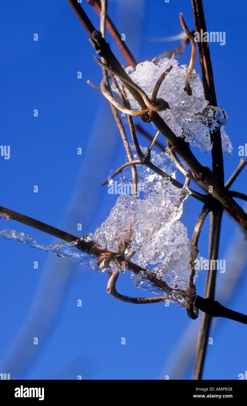 Ice on Old Mans Beard Clematis vitalba - Stock Image