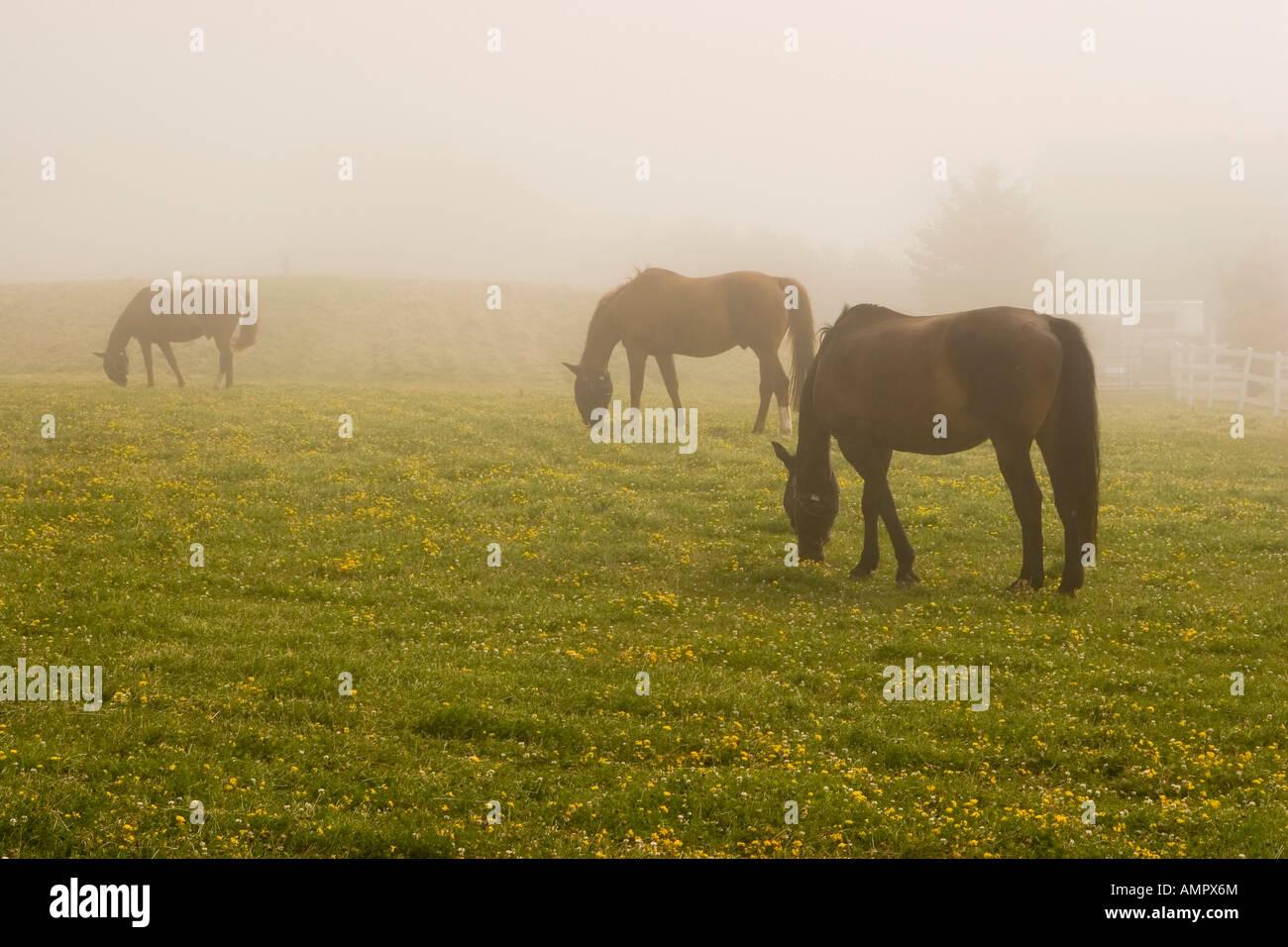 Horses in Fog Prince Edward County Ontario Canada - Stock Image