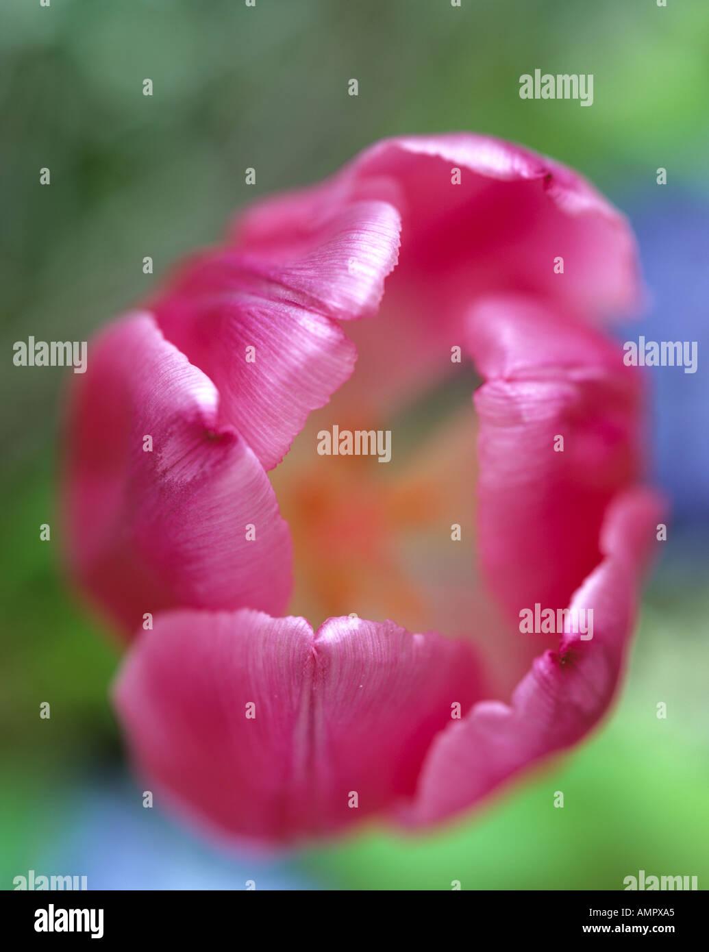 Pink tulip, close-up - Stock Image