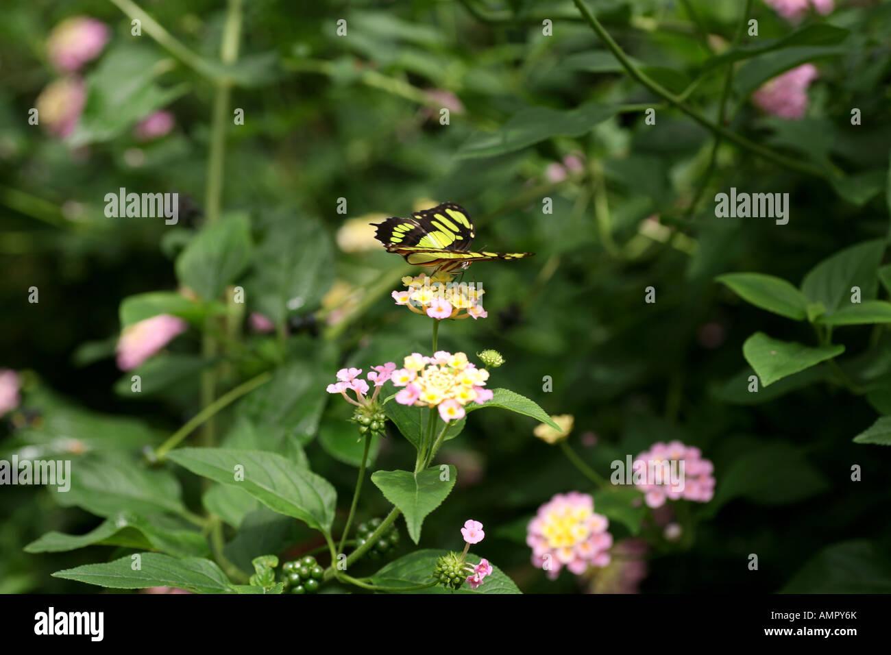 Malachite Butterfly on flower Stock Photo