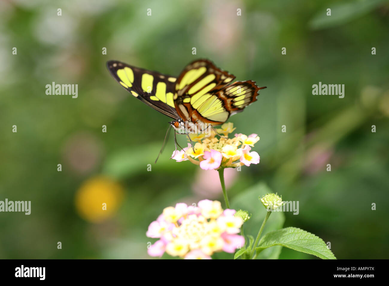 Malachite Butterfly on flower Stock Photo