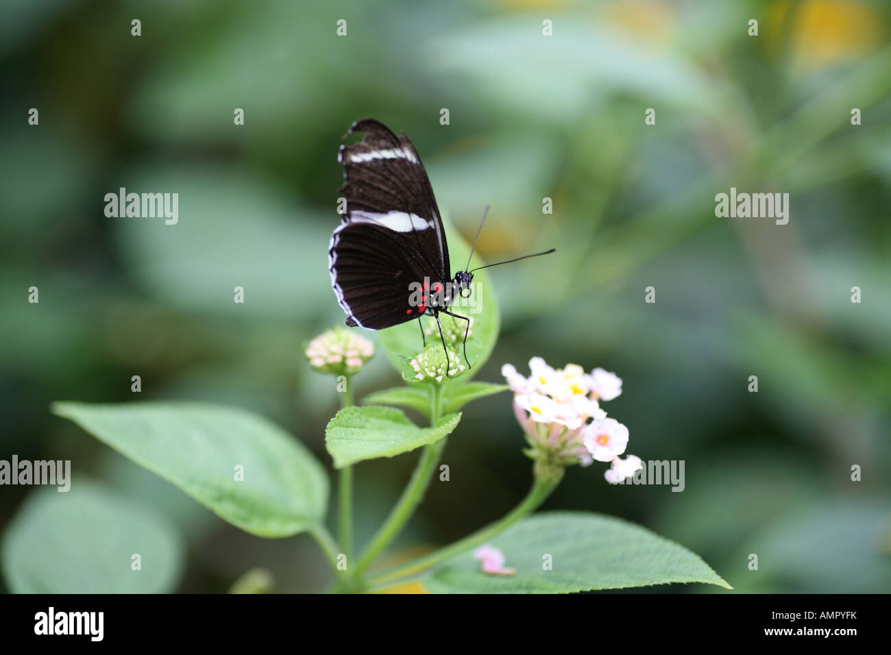 a Sapho Long wing Butterfly sat on a flowering plant - Stock Image