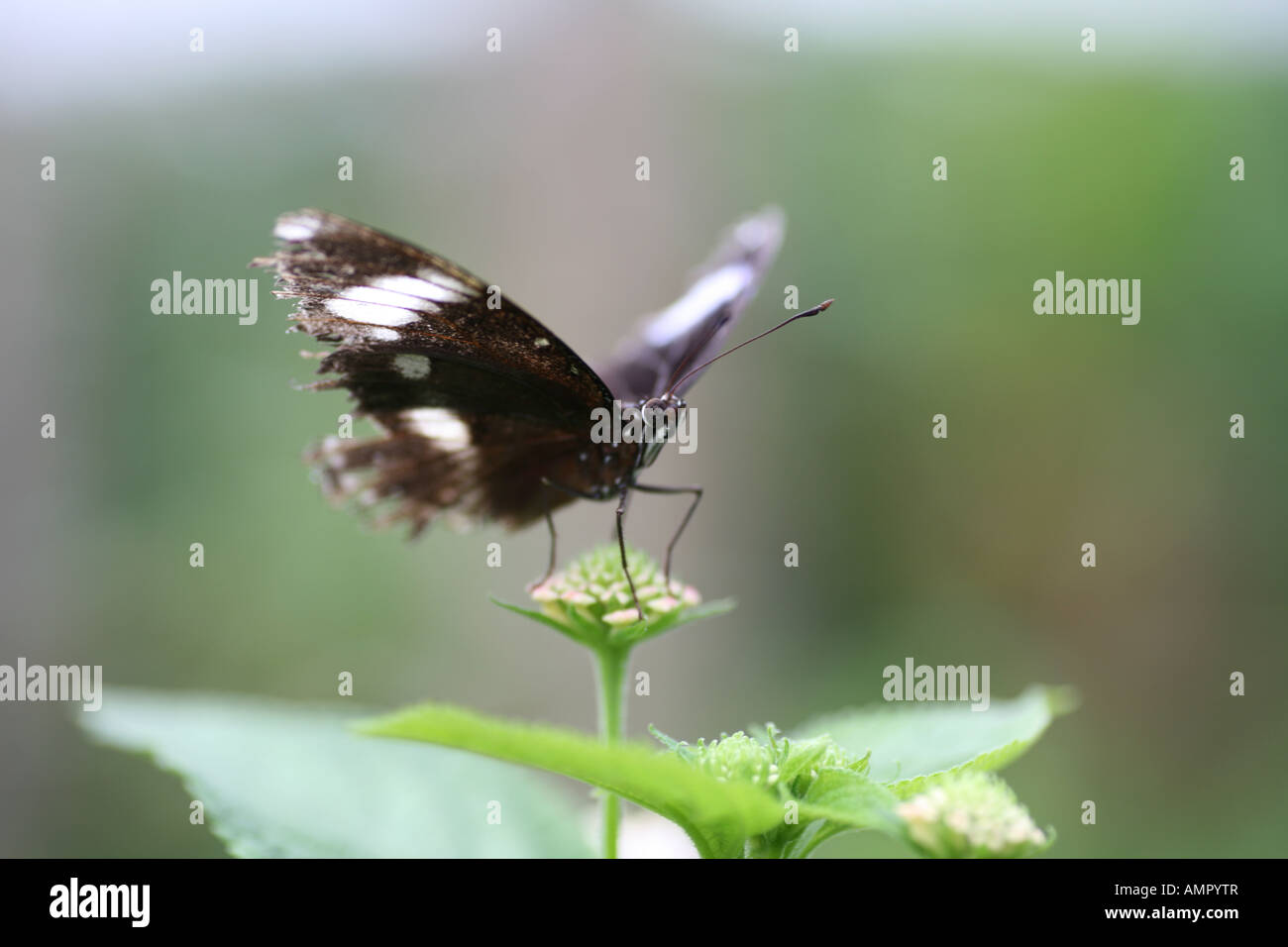 Diadem Butterfly on Flower close up Stock Photo