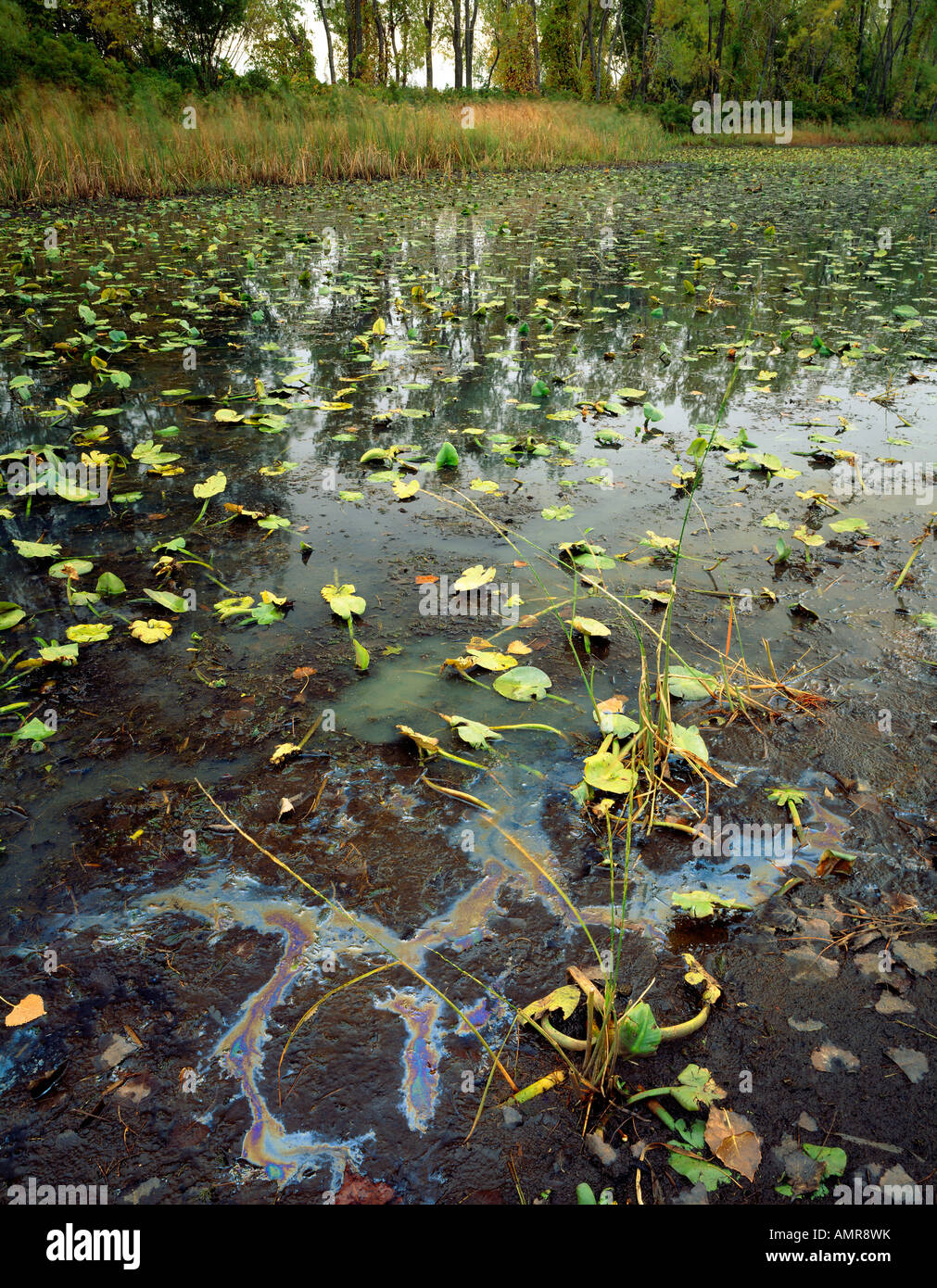 Water pollution that appears to be engine oil near horseshoe pond Presque Isle State Park Pennsylvania environment - Stock Image