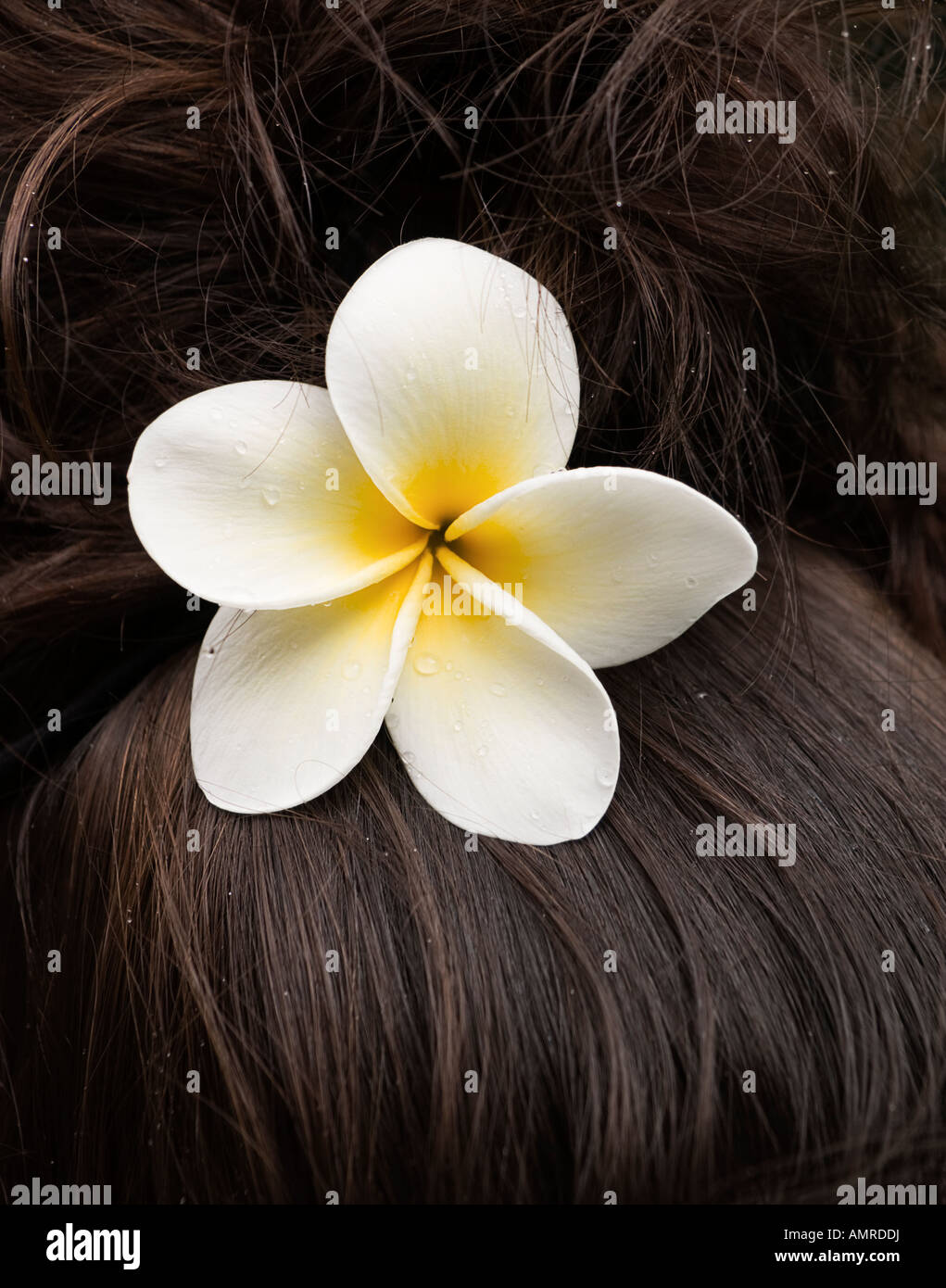 White hawaiian flower in womans hair stock photo 15323885 alamy white hawaiian flower in womans hair izmirmasajfo