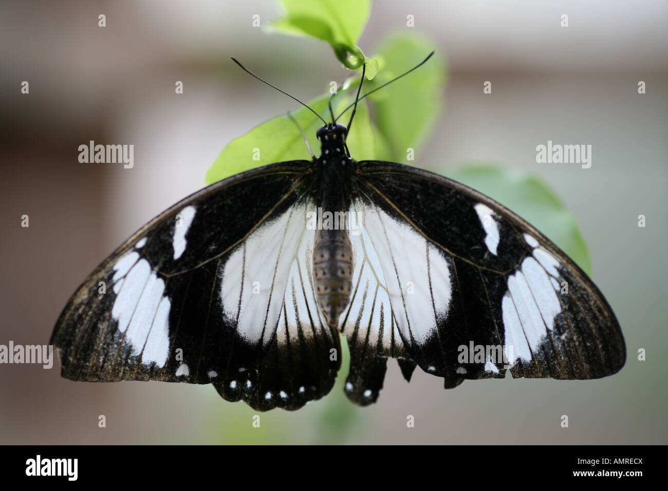 Diadem Butterfly on leaf Stock Photo
