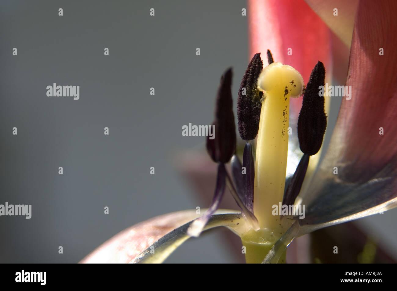 Stempel Fruchtblatt einer Tulpenblüte mit Griffel Narbe und Staubblatt Staubbeutel carpel pistil of a tulip with style stigma - Stock Image