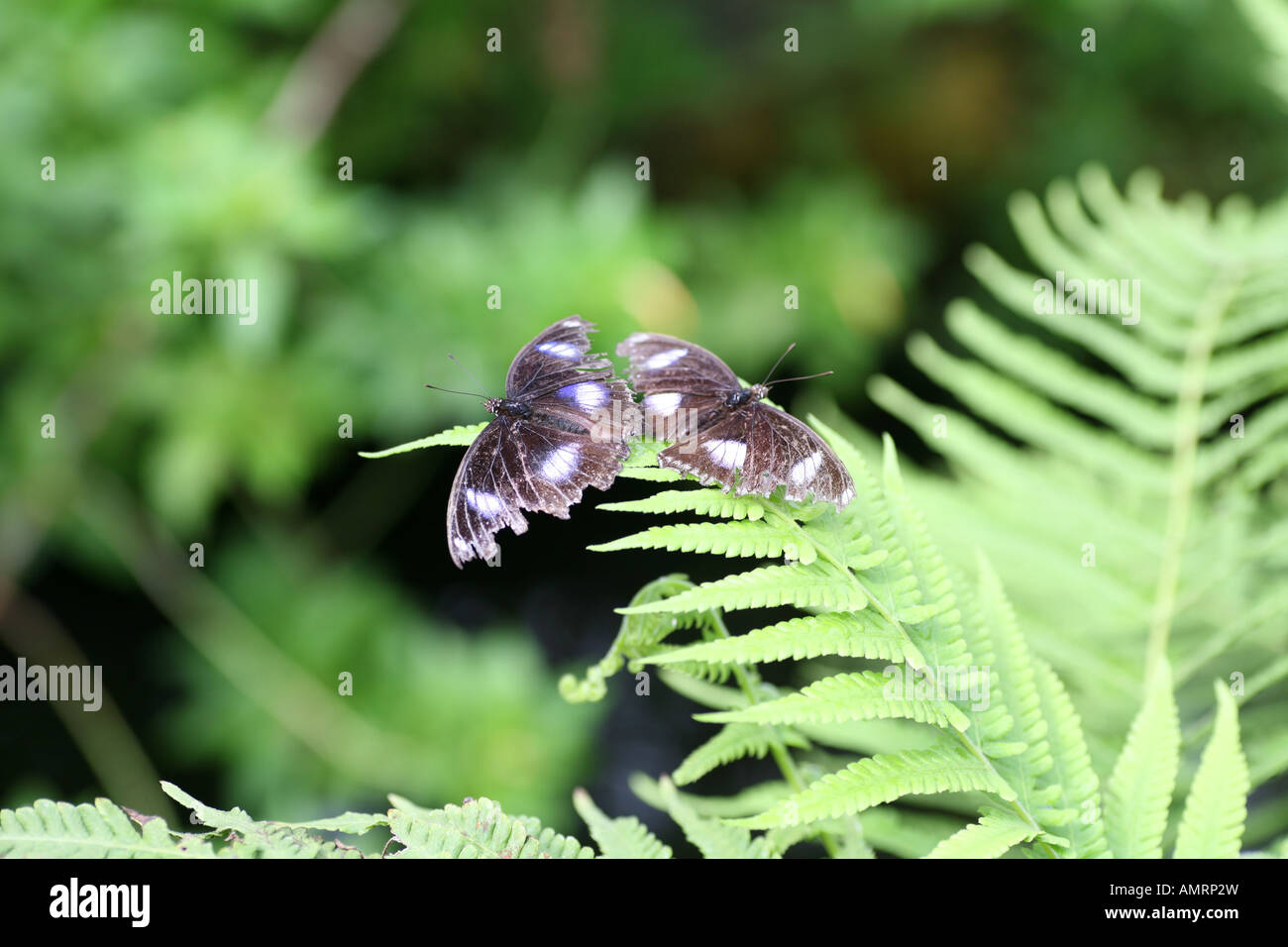 Pair of Diadem Butterflys on leaf Stock Photo