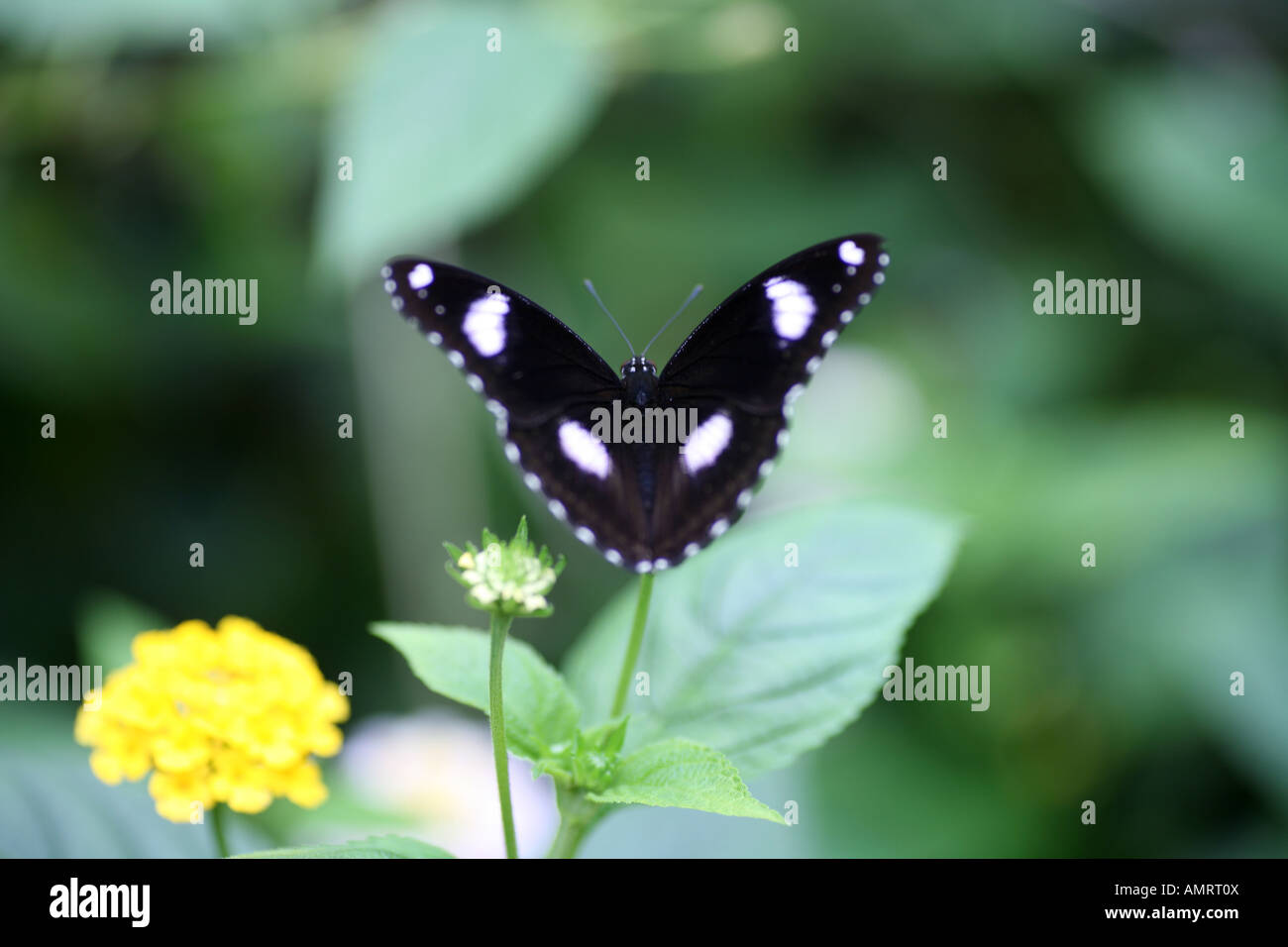 Diadem Butterfly on Yellow flower Stock Photo