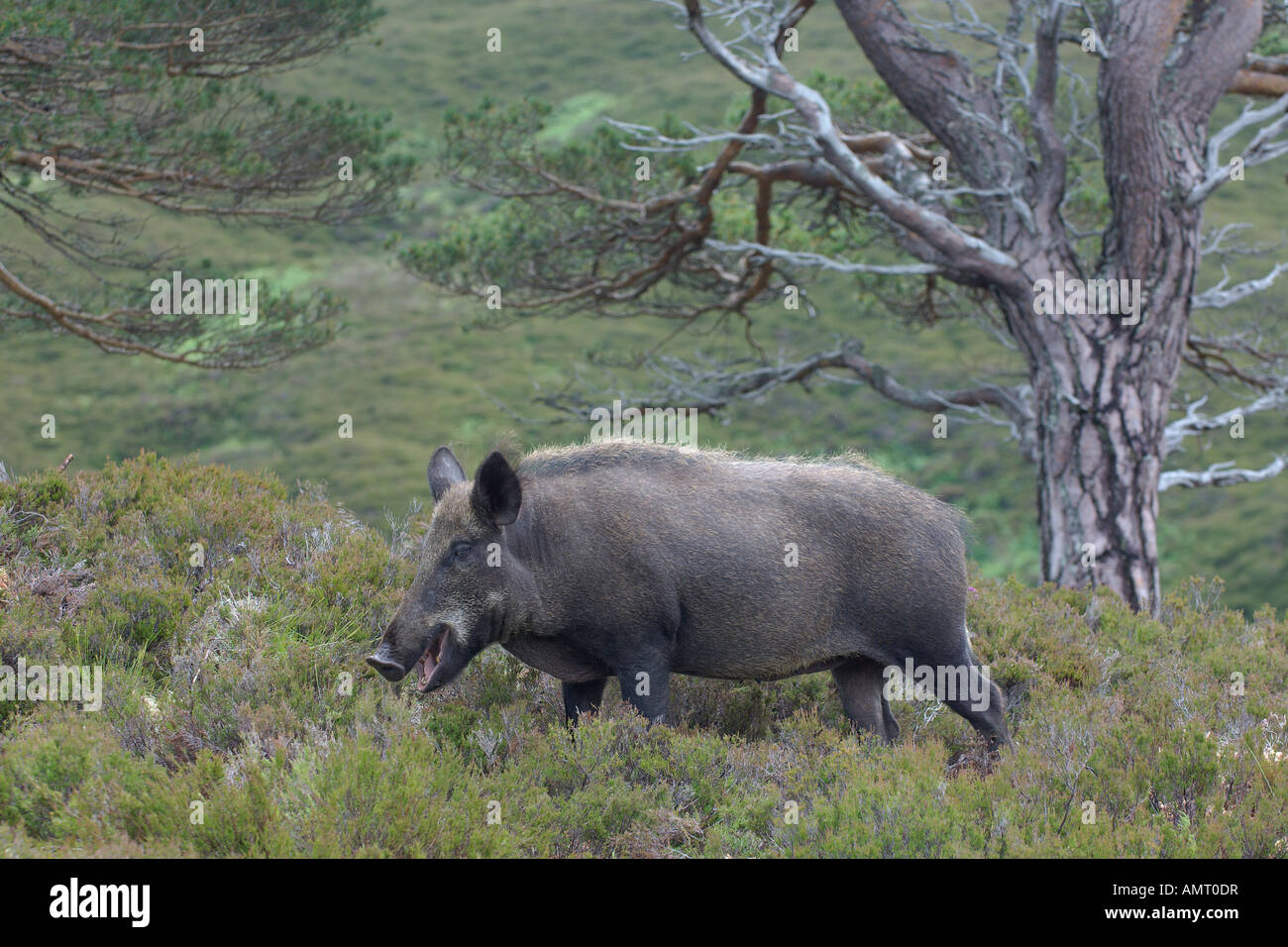 Wild boar Sus scrofa adult female or sow Reintroduction project at Alladale estate Sutherland Scotland July 2007 - Stock Image