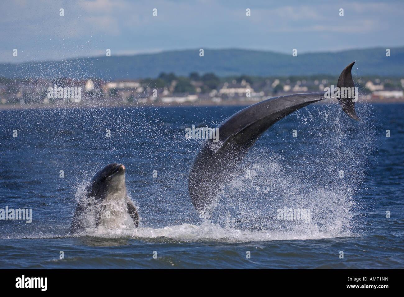 Bottlenose dolphins Tursiops truncatus breaching Moray Firth Scotland July Stock Photo