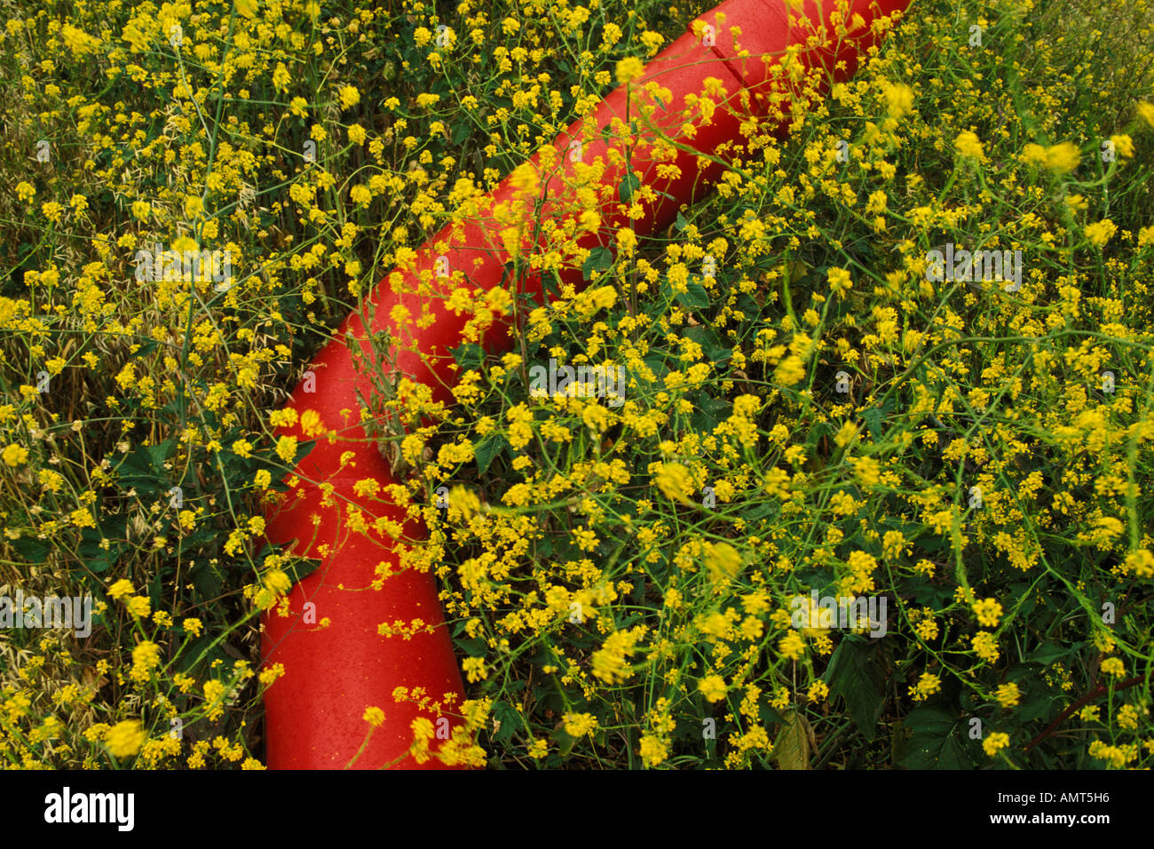 California, Solano County, Mustard flowers and water pipe Stock Photo
