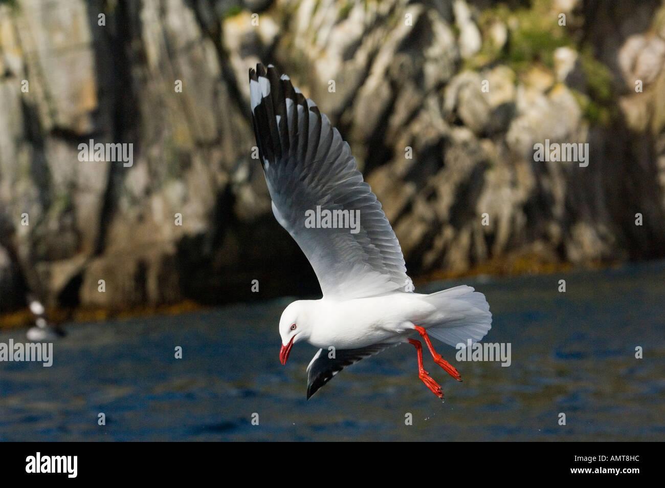 Silver Gull Galapagos Islands Ecuador - Stock Image