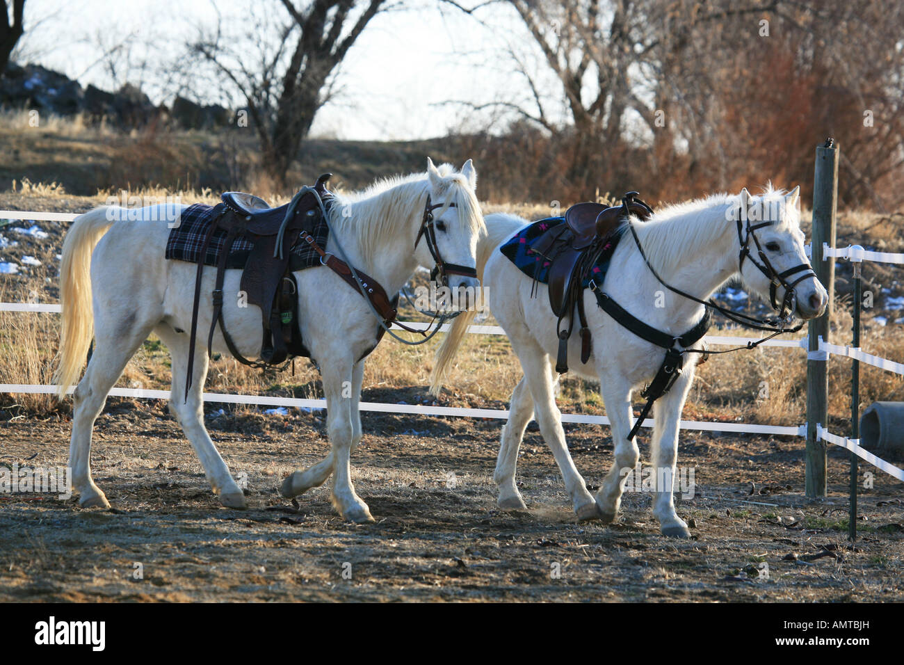Two White Arabian Horses In Pen With Saddle And Bridle On Stock Photo Alamy
