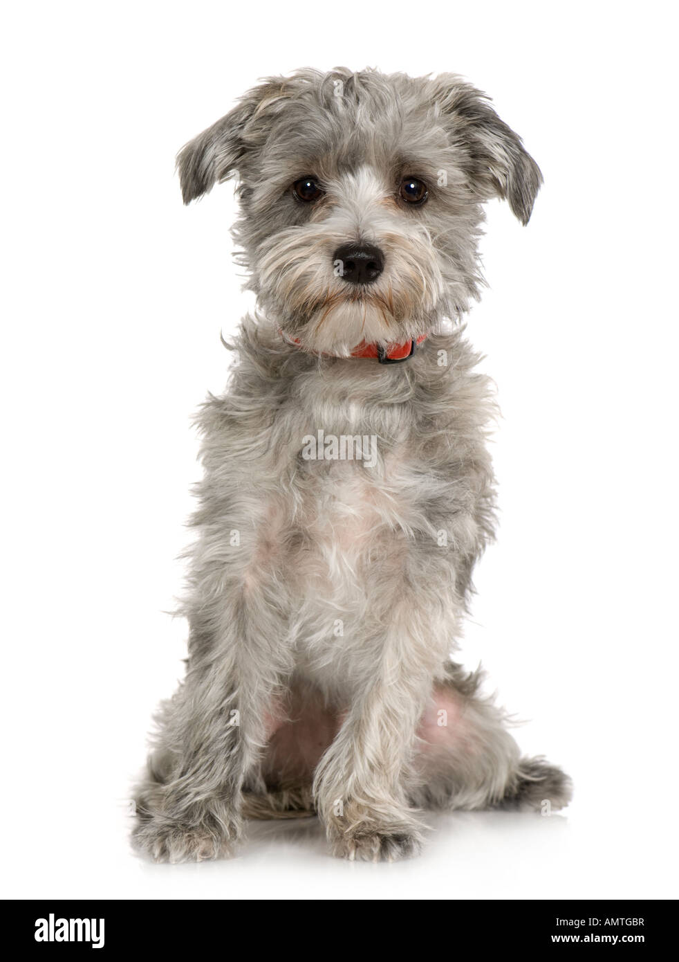 Havanese dog siting in front of A white background Stock Photo