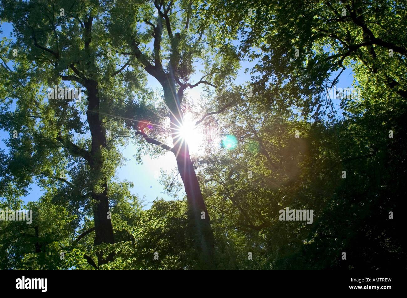 Sun shining through treetops - Stock Image