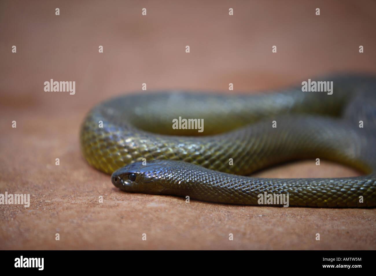 Inland Taipan or Fierce Snake The Worlds deadliest snake Taronga Zoo Sydney Australia - Stock Image