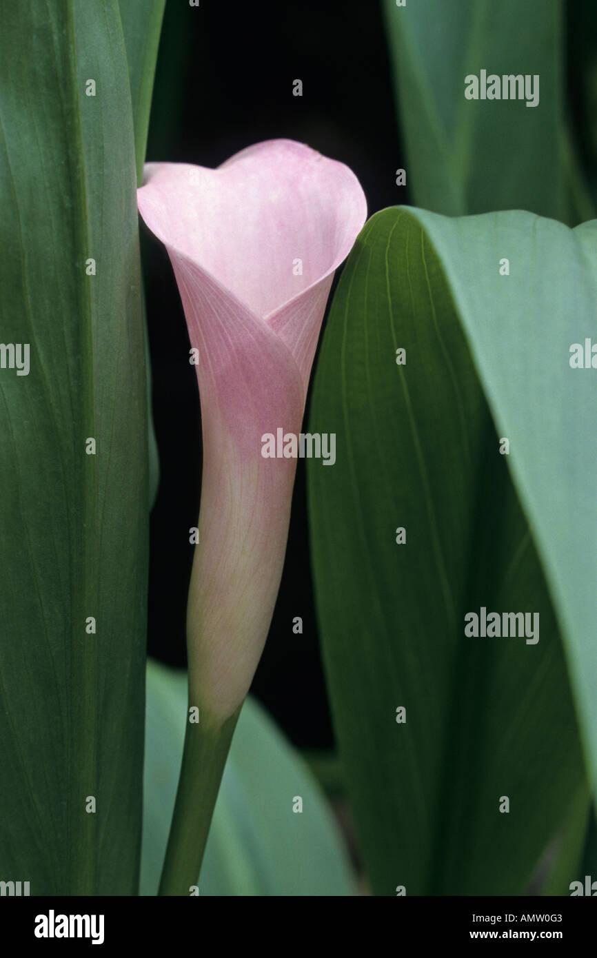 Pink calla (Zantedeschia rehmannii) - Stock Image