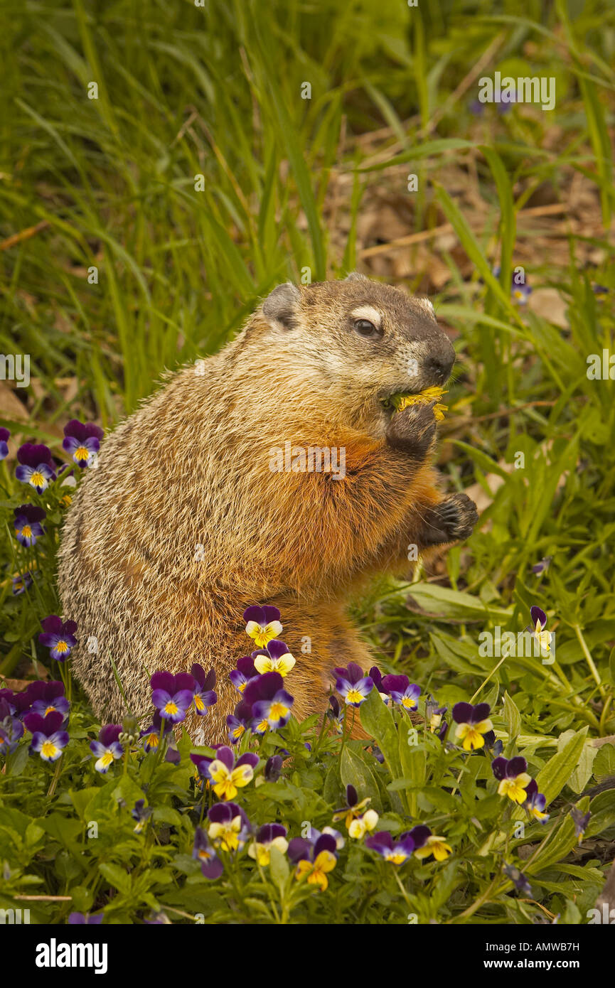 Groundhog or Woodchuck Marmota monax Minnesota USA - Stock Image
