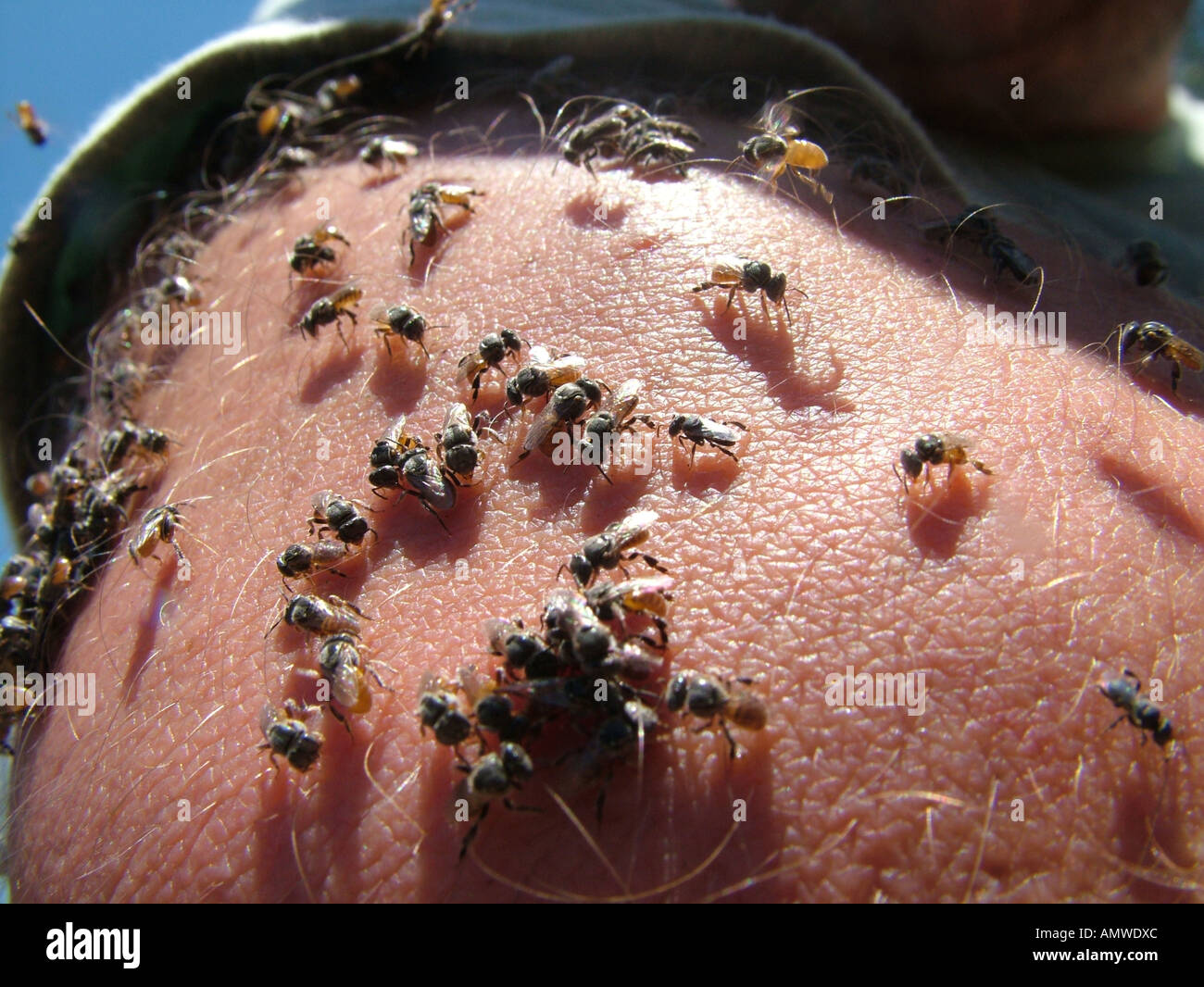 Countless little bees assemble at the skin for collecting minerals from the human sweat - Stock Image