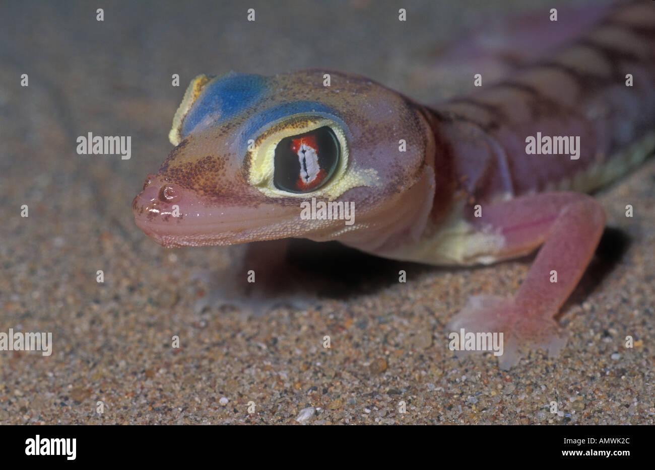 xyz Web footed gecko Palmatogecko rangei Namibia Stock Photo