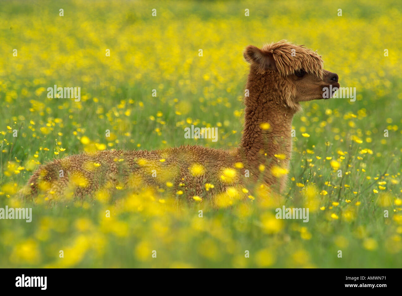 ALPACA calf Lama pacos freshly shawn UK Native to South American andes Camel family - Stock Image