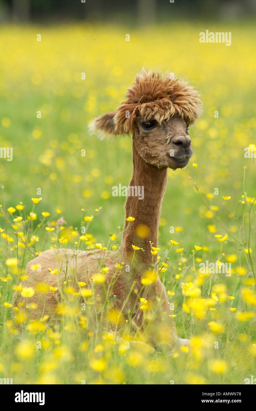 ALPACA calf Lama pacos freshly shawn on llama farm in UK recently shawn Native to South American andes - Stock Image