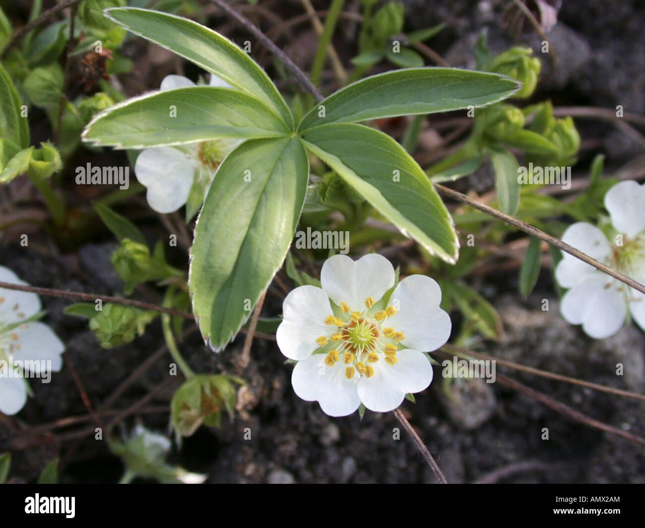 white cinquefoil (Potentilla alba), blooming plant Stock Photo
