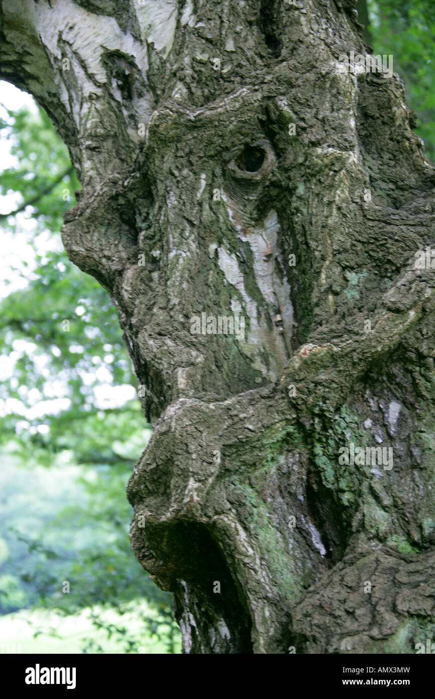 Old Silver Birch Tree Trunk Resembling a Strange Face - Stock Image