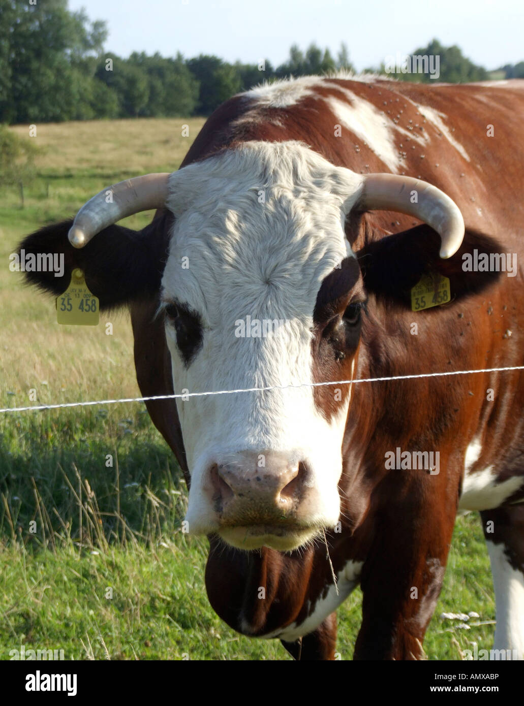 Cow on pasture Stock Photo