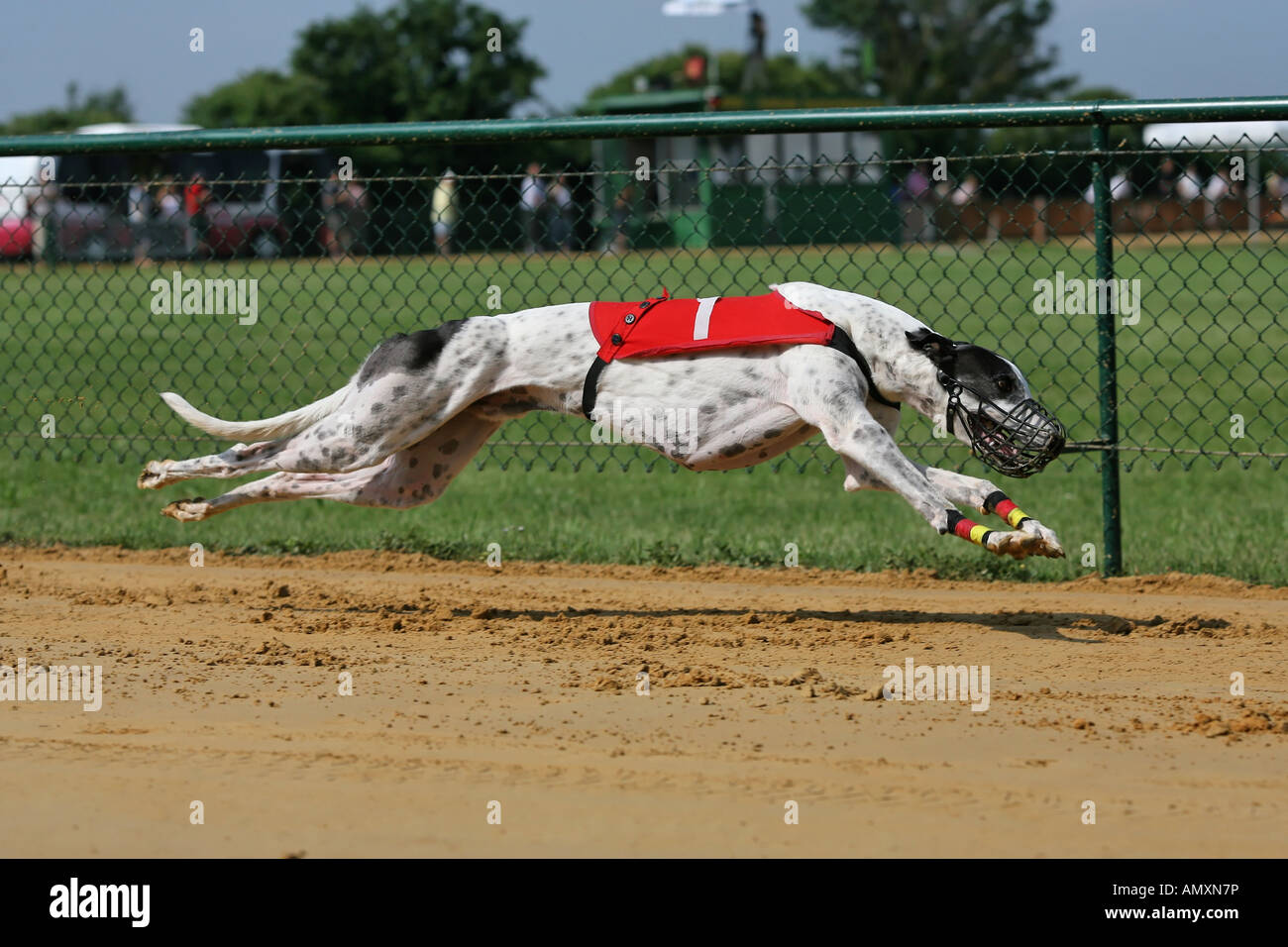 8bf92defaffd5 Whippet dog running on race track Stock Photo  15354729 - Alamy