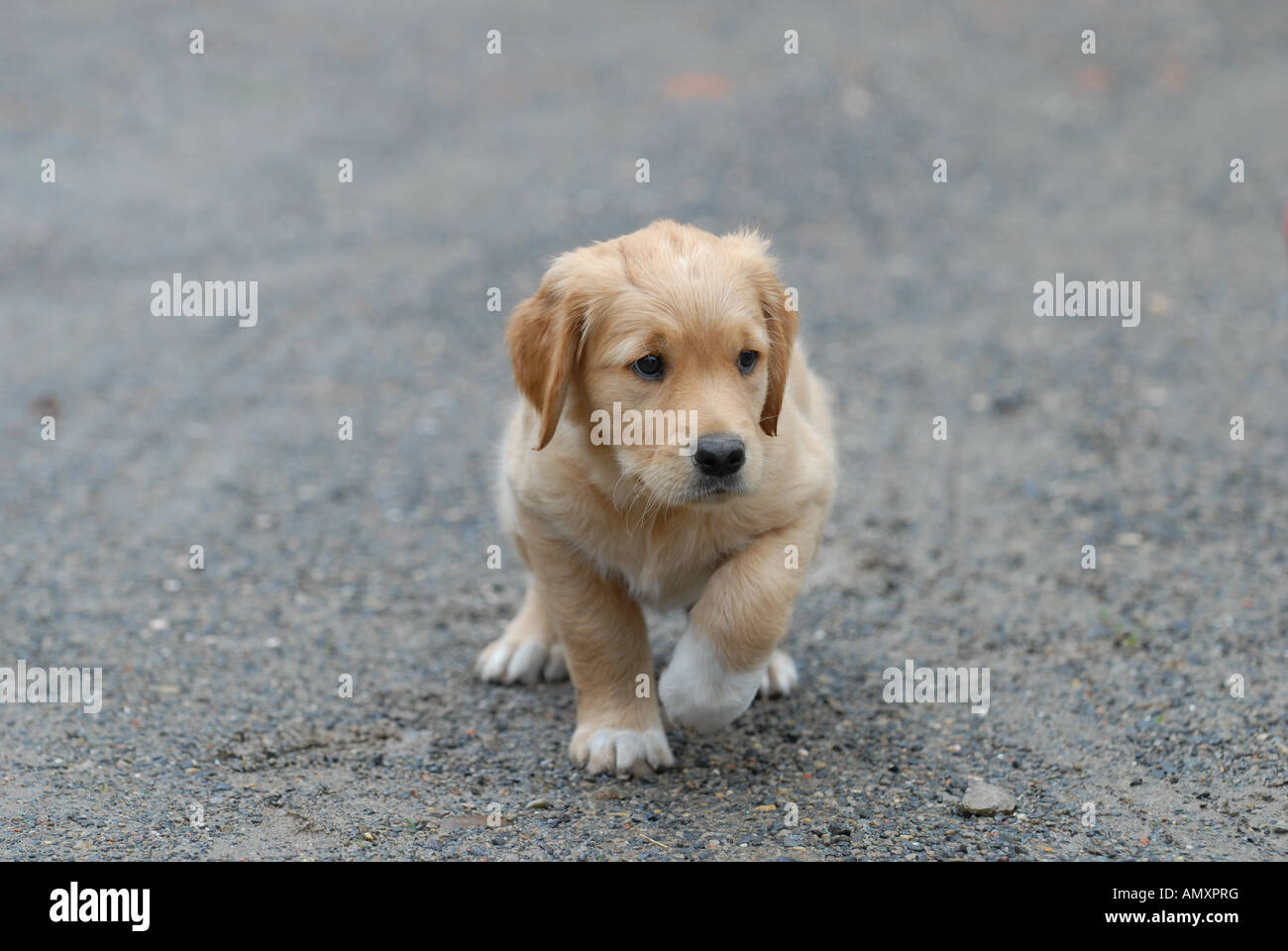 Golden Retriever Welpen Puppies Stock Photos Golden Retriever