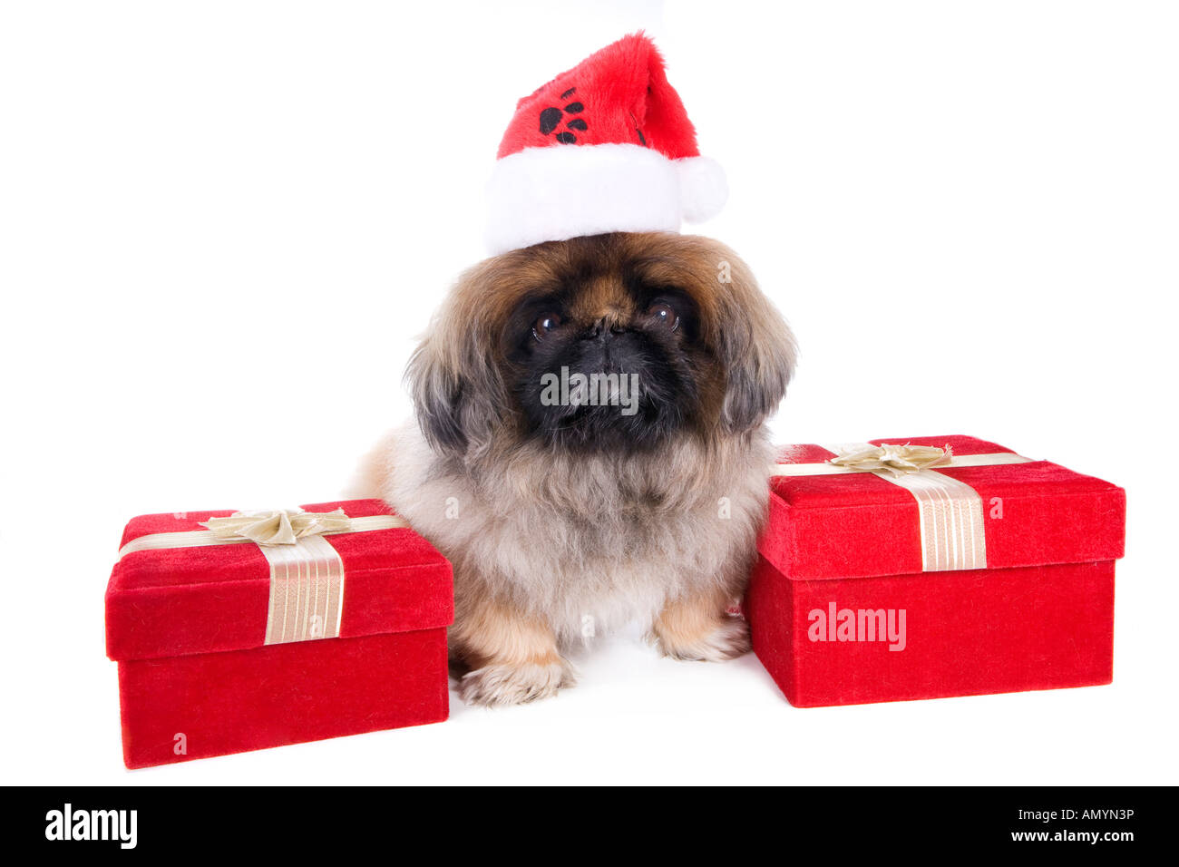 e8d0767ca5c5 Brown Pekingese dog dressed for Christmas in hat with red velvet gift box  isolated on white