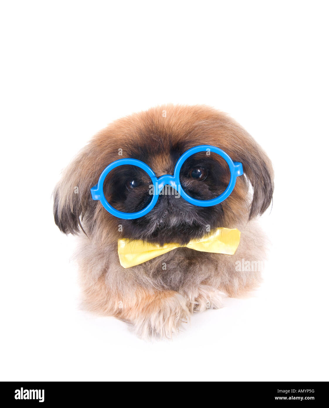 43636d6cbc44 Brown Pekingese dog dressed as a nerd with big blue glasses and yellow bow  tie isolated on white